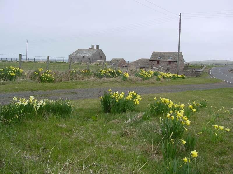 Photo: John O'Groats Mill Daffodils