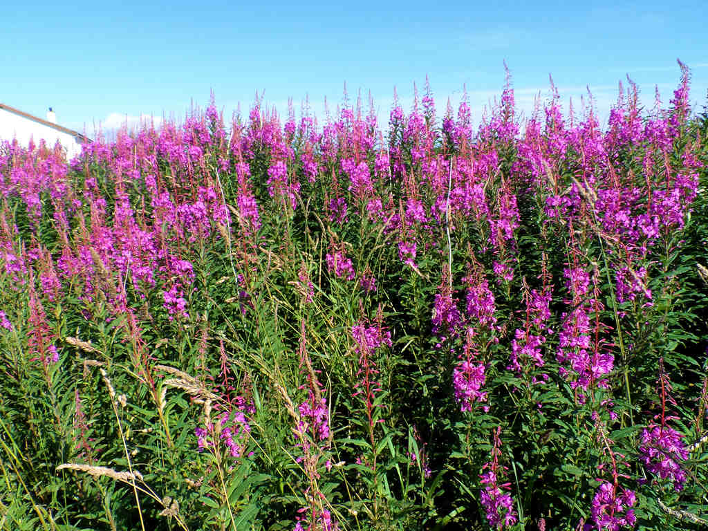 Photo: Rose Bay Willow Herb, March Road