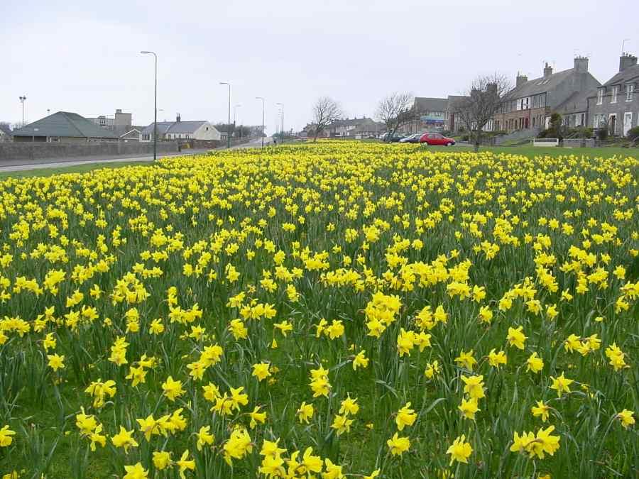 Photo: Thurso Daffodils