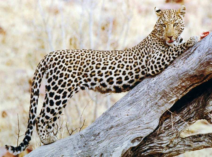 Photo: Leopard - Colin Gregory