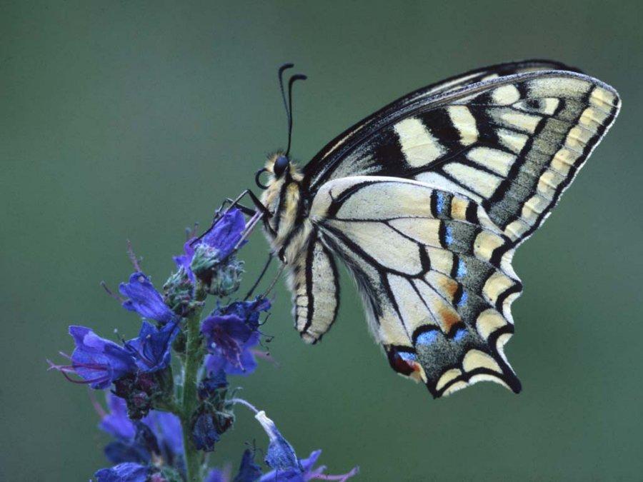 Photo: Swallowtail Butterfly - Patricia Smith, Dingwall Camera Club