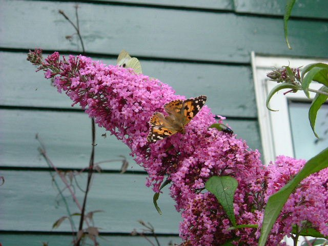 Photo: Painted Lady and Large White