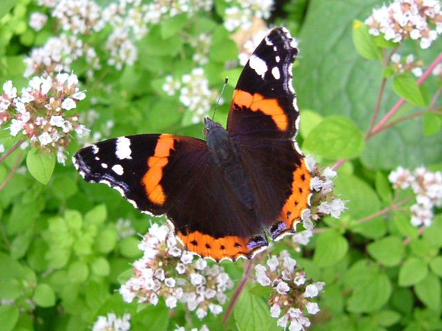 Photo: Red Admiral