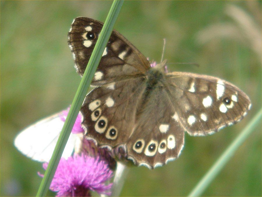 Photo: Speckled Wood Butterfly At Dunnet Forest