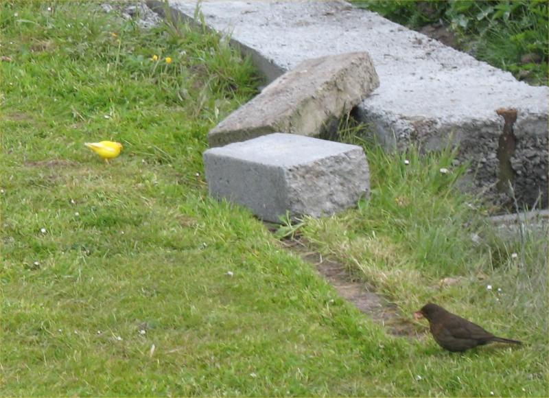 Photo: Lost Canary Spotted At Broadhaven, Wick