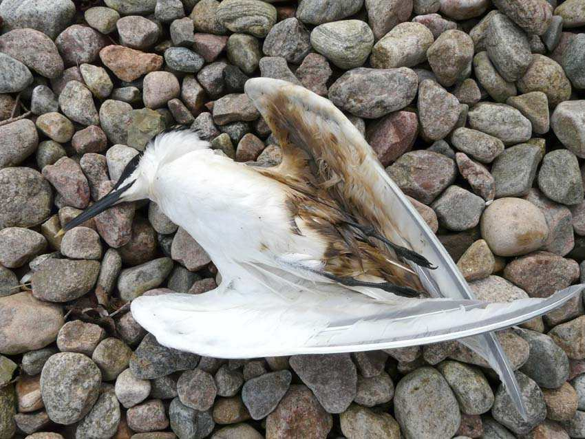 Photo: Sandwich Tern Found Dead At St Johns Pool Probably Died Of Oil Ingestion
