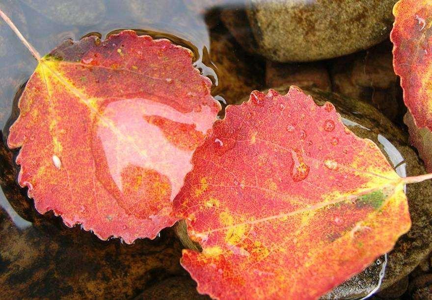 Photo: Aspen Leaves