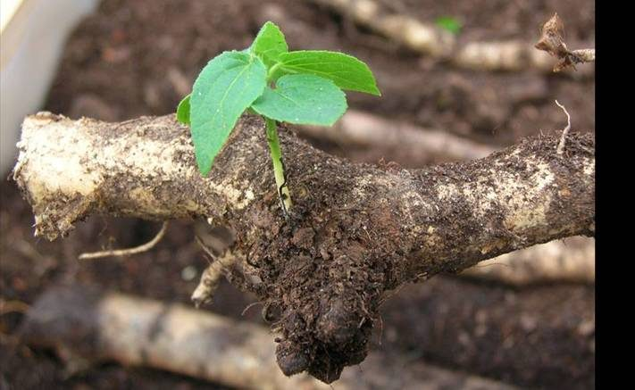 Photo: Aspen Root Cutting Ready For Planting On