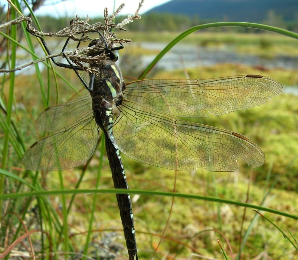 Photo: Highland Dragonfly Is Top Of The Ponds