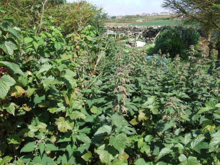 Photo: Nettles In the Black Currants Make Great Compost - why Worry about them