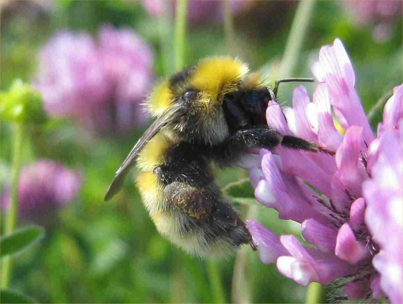 Photo: Great Yellow Bumblebee Sites Discovered At Reay And Melvich