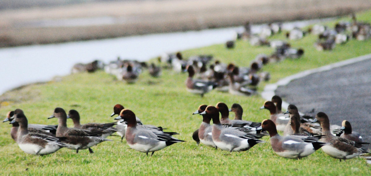 Photo: Ducks At The River Wick