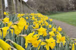 Daffodils at Wick Riverside