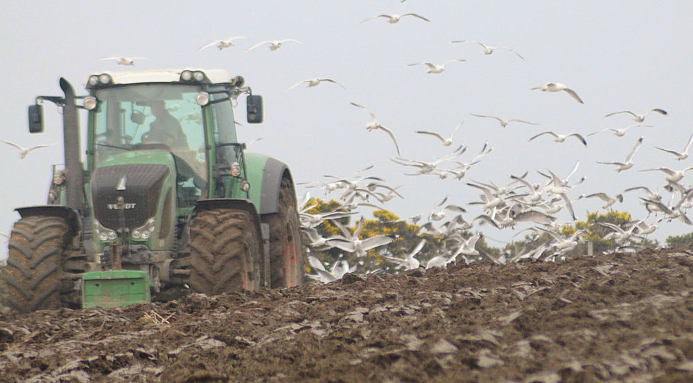 Photo: Rich pickings for the gulls during ploughing operations at Reiss