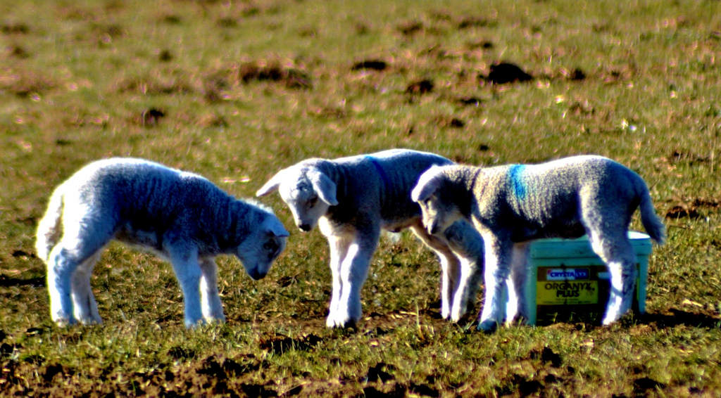 Photo: Lambs in East Caithness