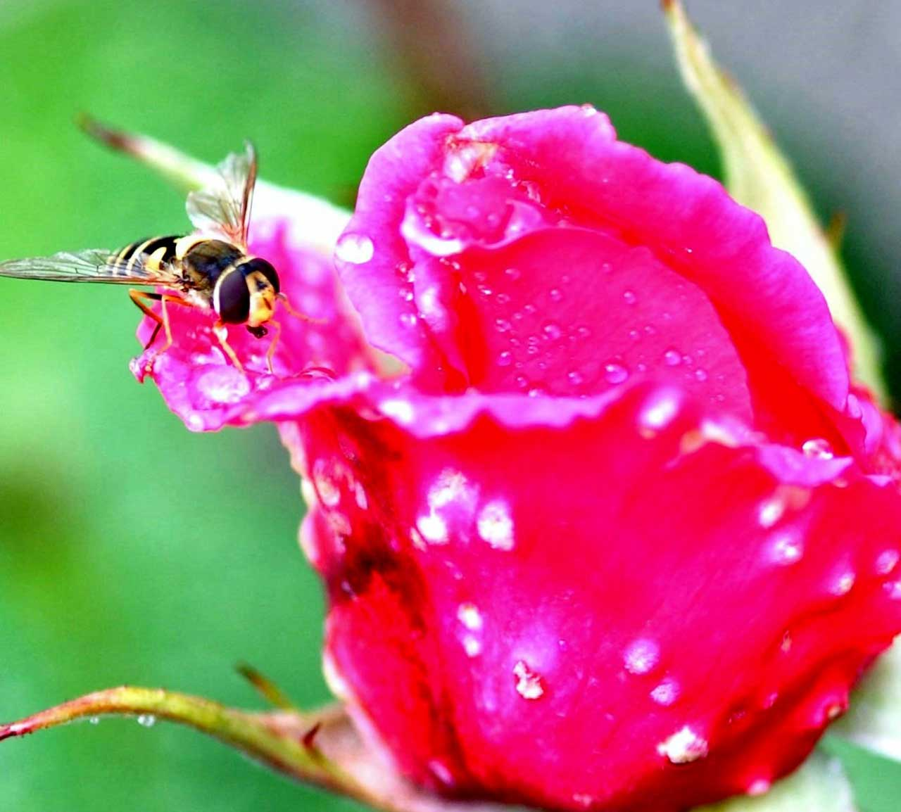 Photo: Hoverflies On Roses