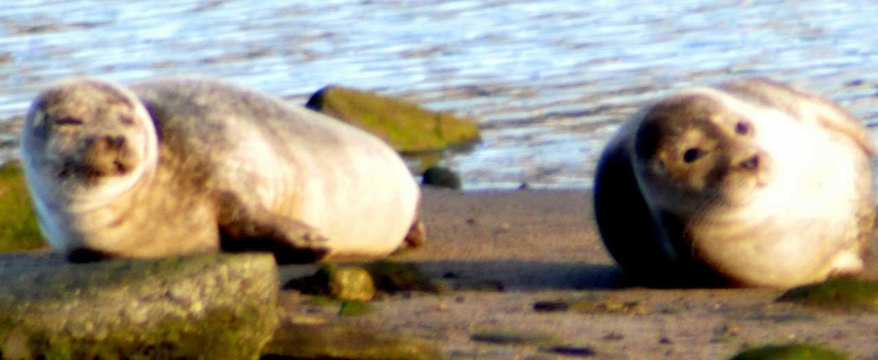 Photo: Seals Recently Decided River Wick Was A Sunbathing Spot