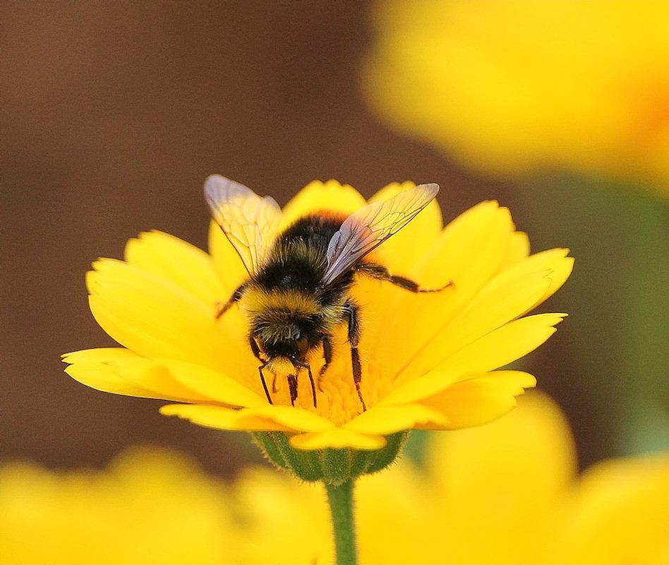 Photo: Early Bumblebee