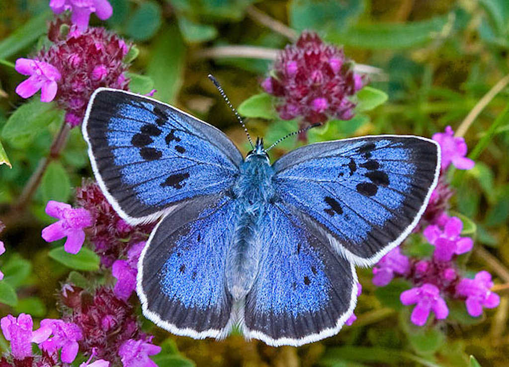 Photo: Large Blue Butterfly