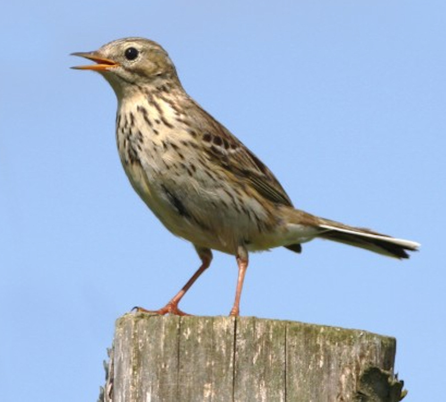Photo: Meadow Pipit