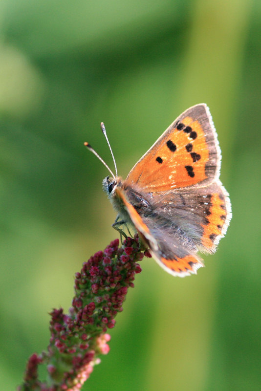 Photo: Small Copper Butterfly