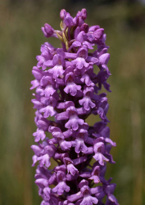 Photo: Fragrant Orchid