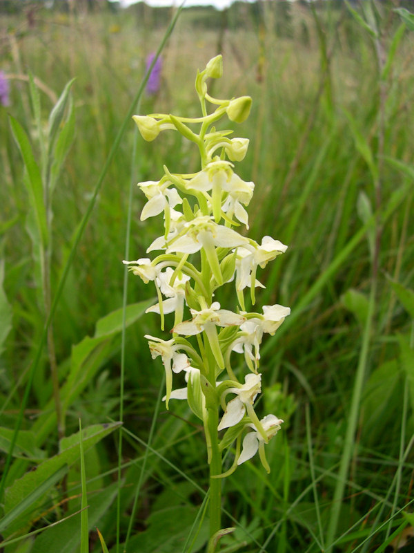 Photo: Greater Butterfly Orchid