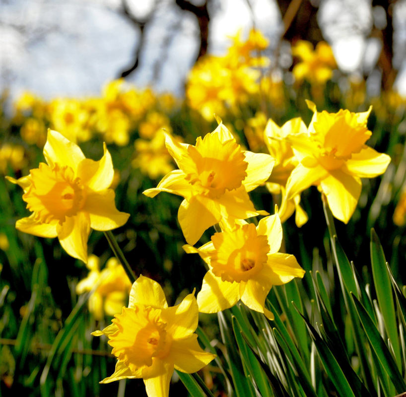 Photo: Daffodils At Union Street, Wick