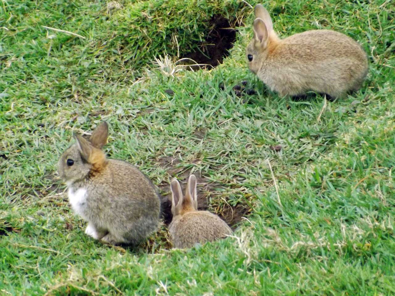 Photo: Rabbits at Ellens Geo, Ulbster