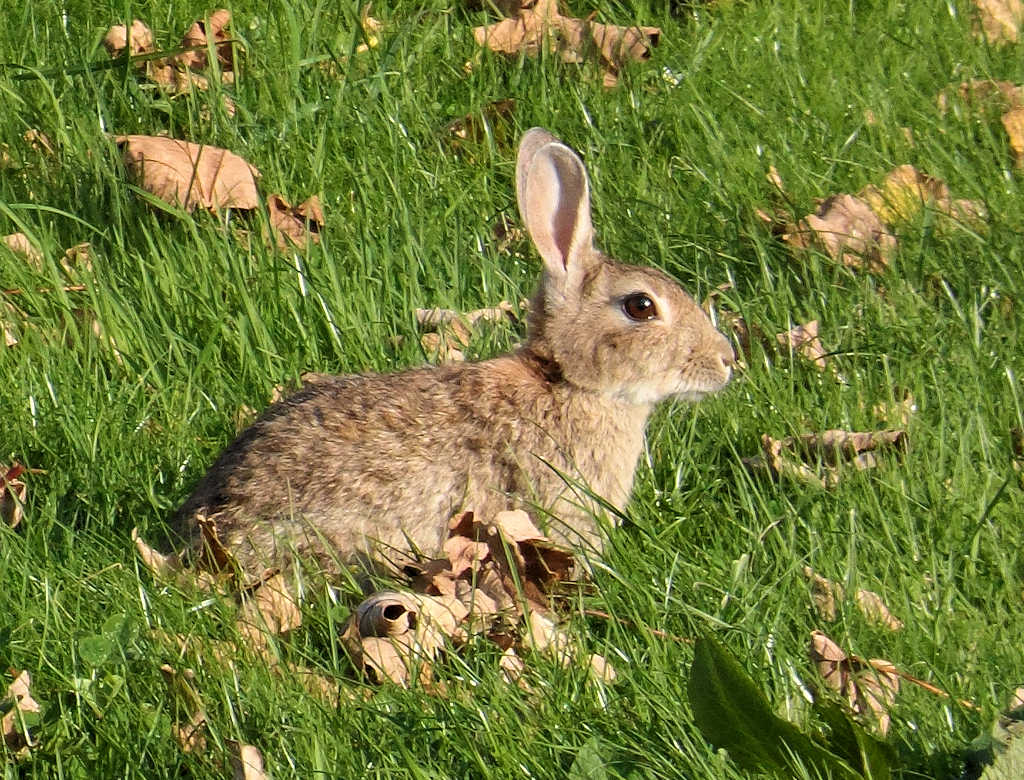 Photo: Rabbit at Coop, Wick