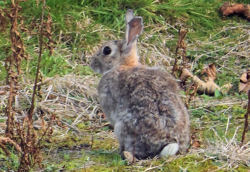 Photo: Rabbit at Coop, Wick