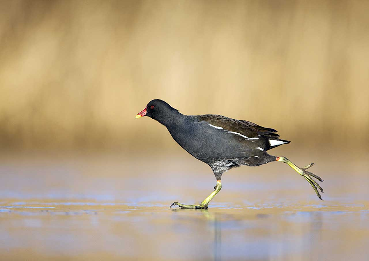 Photo: Previous Winner - Moorhen