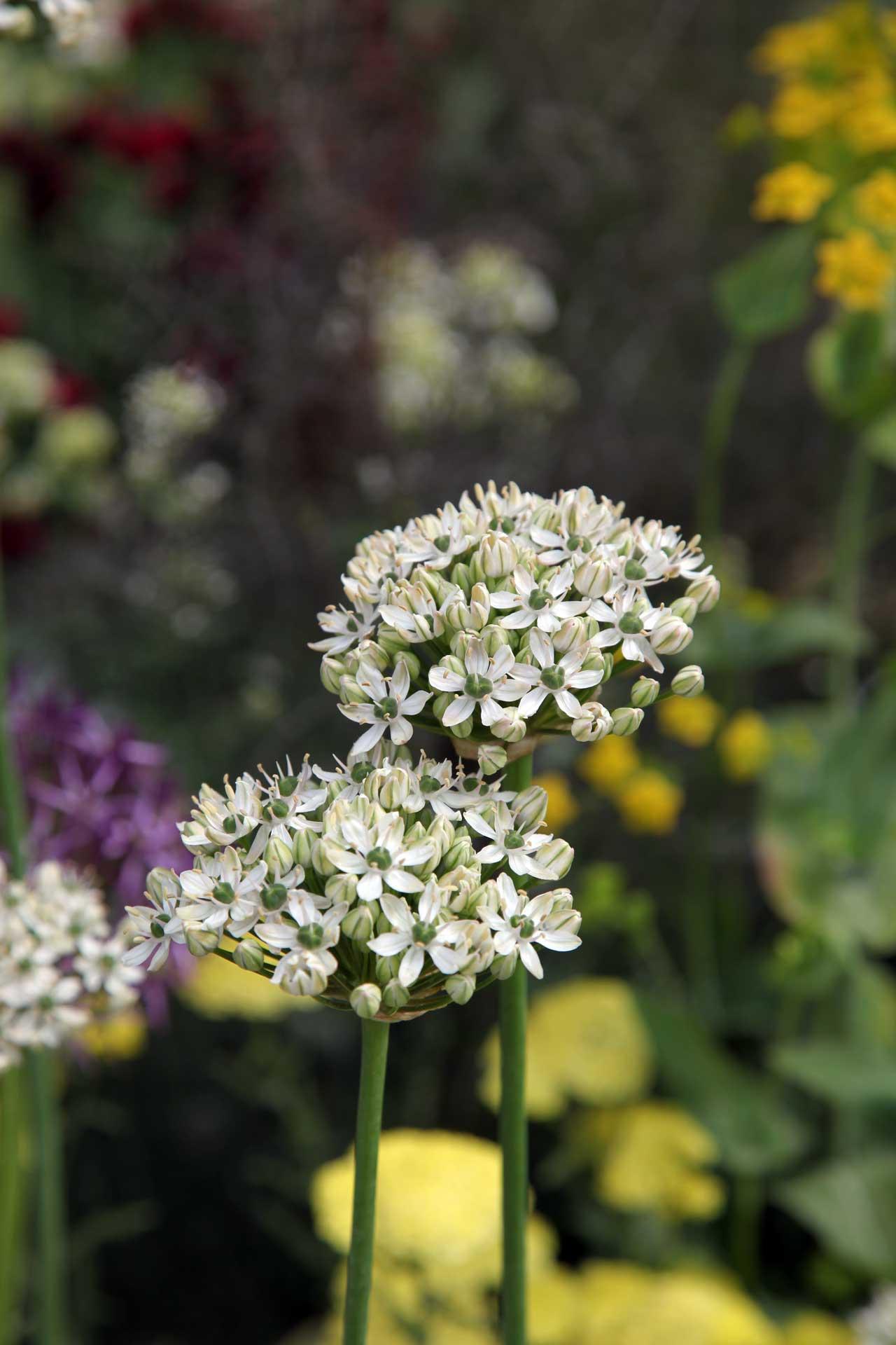 Photo: Allium White