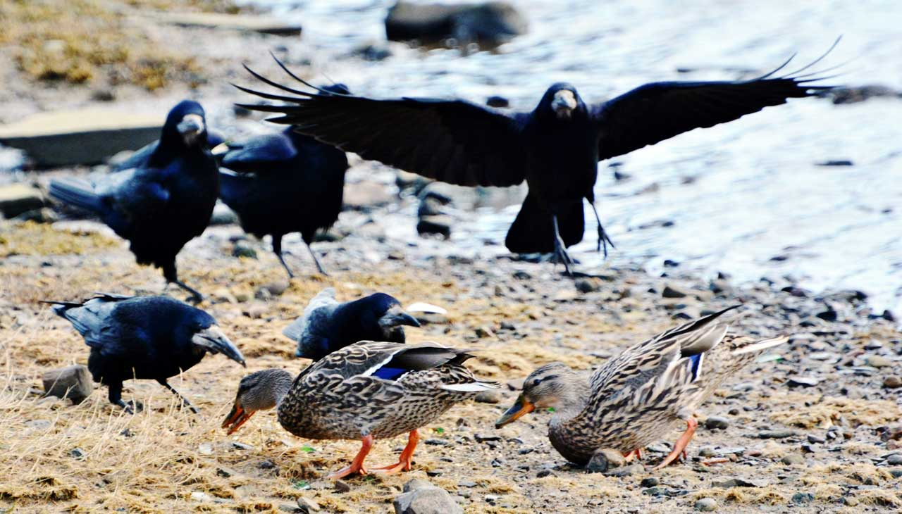 Photo: Crows Muscle In On The Ducks