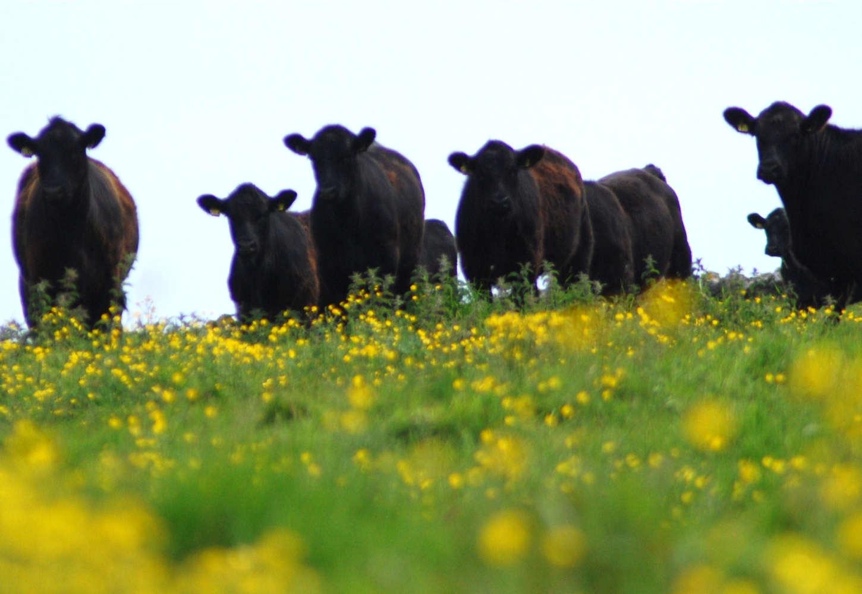 Photo: Cows In Summertime Near Girnigoe Castle