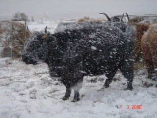 Photo: Winter Finally Comes To Caithness - Highland Coos Feeding In Snow 1 March 2006