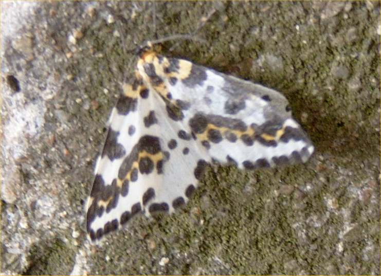 Photo: Magpie Moth