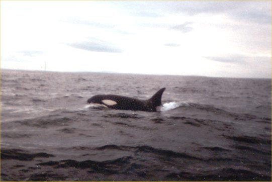 Photo: Orca spotted North Of The Swilkie At Stroma