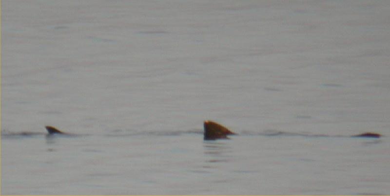 Photo: Basking Shark Hanging Around In Thurso Bay