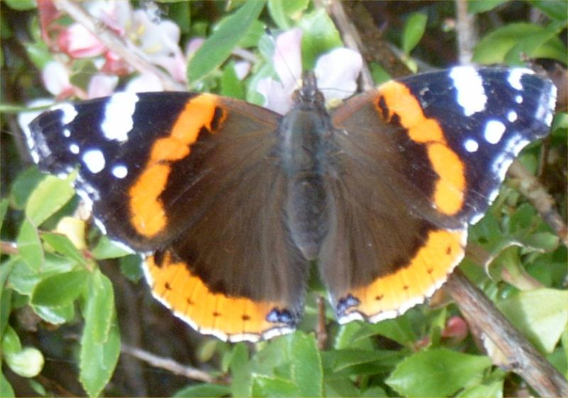 Red Admiral Butterfly In Caithness Garden 1 Of 1 Red Admiral Photos Caithness Org