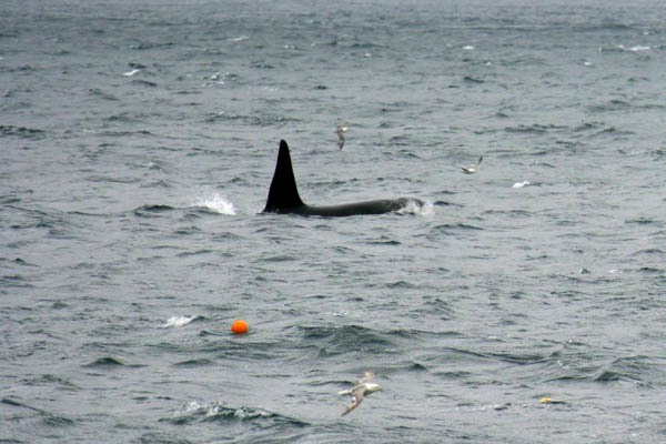 Photo: Killer Whales Around Caithness At Present