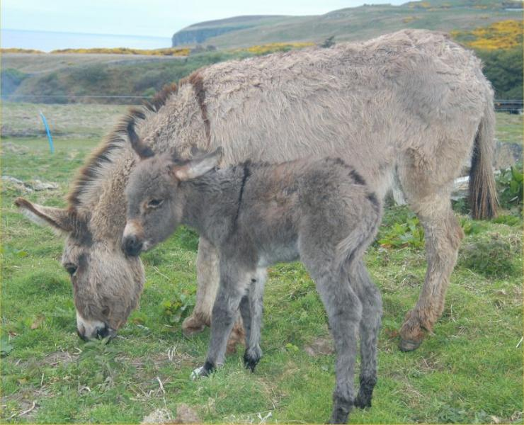 Photo: Ivan - A New Baby Donkey At Latheronwheel