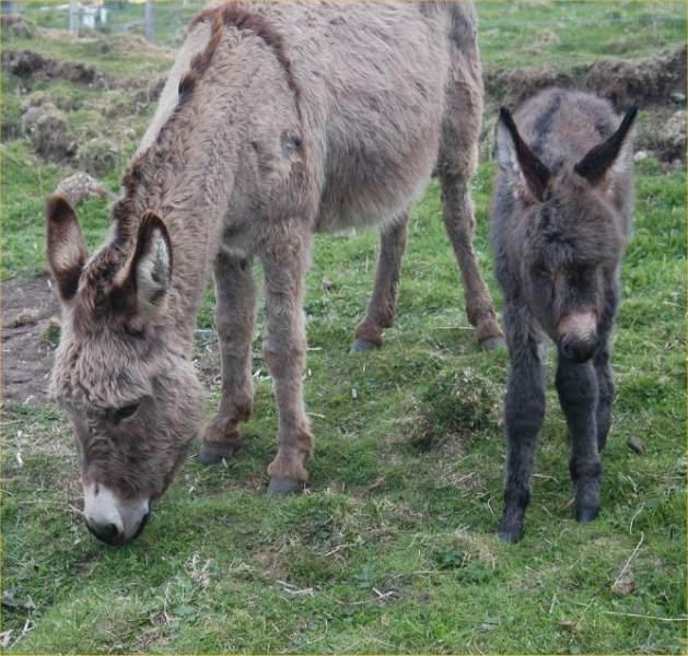 Photo: Ivan - A New Baby Donkey At Latheronwheel