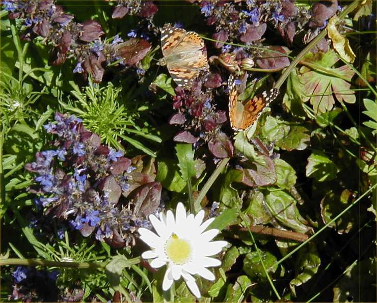 Photo: Painted Ladies Found At Holborn Head 6 June 2006