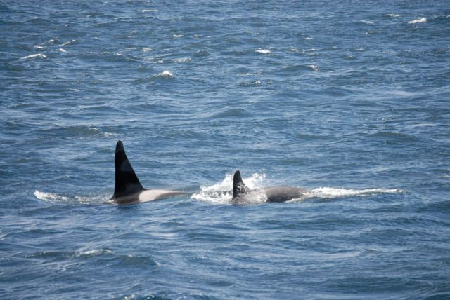 Photo: Killer Whales Spotted On Hoy Highland Wild Encounters Trip