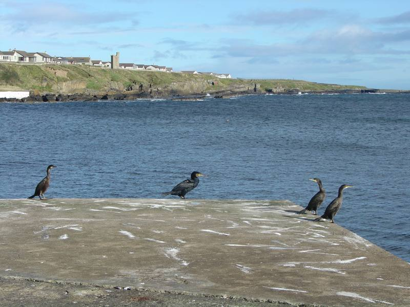 Photo: Cormorants Gather Daily On the Pier At Wick Harbour