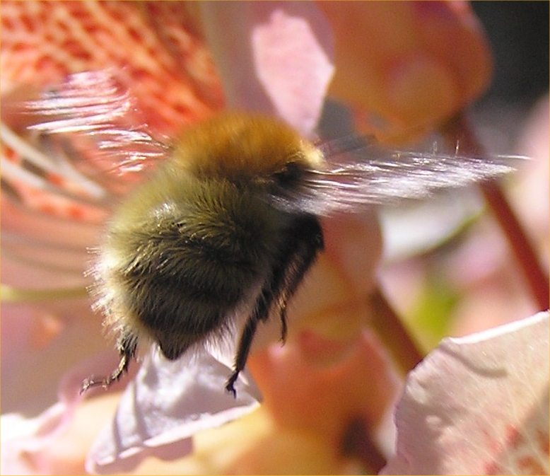 Photo: Carder Bee