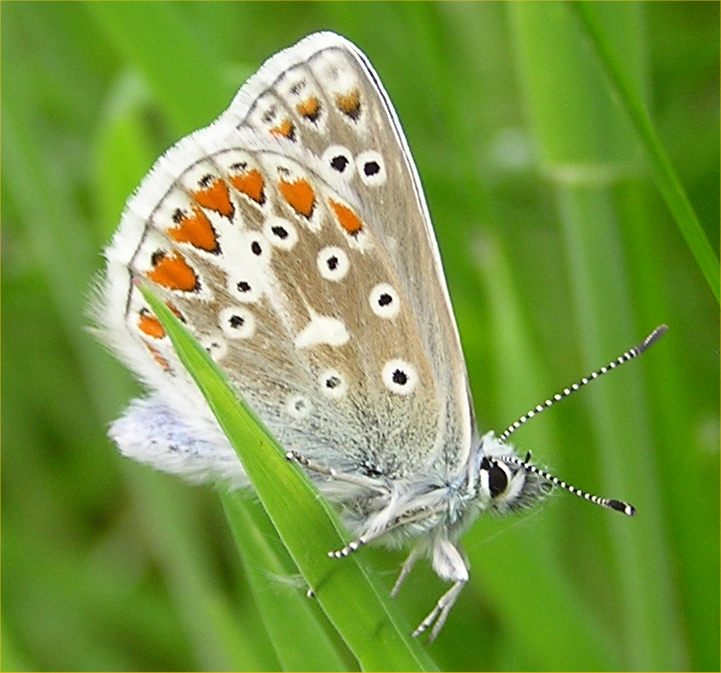 Photo: Common Blue Butterfly At Dunnet Woods