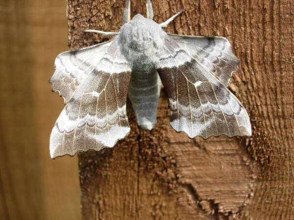 Photo: Poplar Hawk Moth Is the Most uggested Name For This One