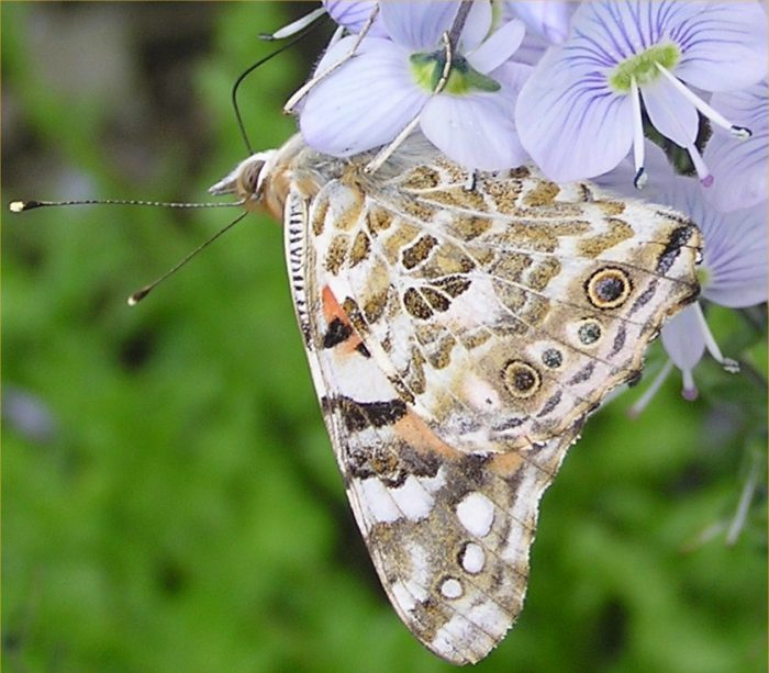Photo: Painted Lady Butterfly